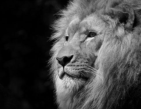 asertividad leon